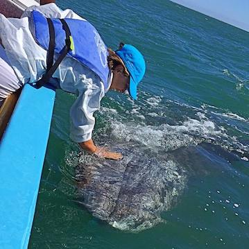 nautistyles petting a gray whale calf in mexico