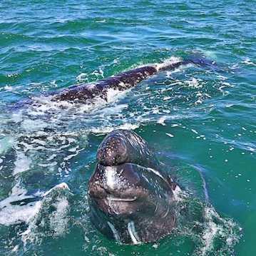 baby gray whale at san ignacio lagoon nautistyles