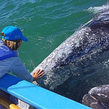 nautistyles petting gray whale in mexico