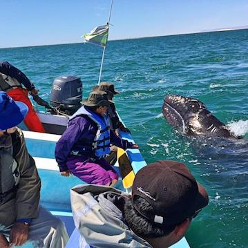 baby gray whale watching mexico nautistyles
