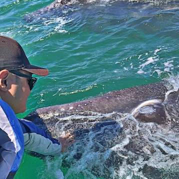 man touching a baby gray whale in san ignacio lagoon